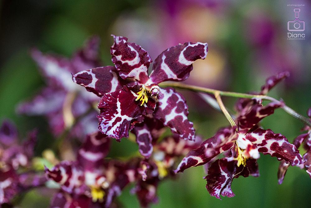 орхидеи, цветы, аптекарский огород