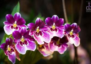орхидеи, цветы, аптекарский огород,