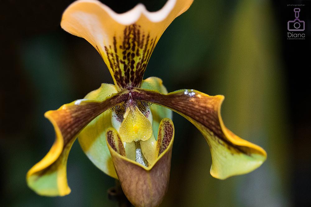 орхидея, цветы, тропические